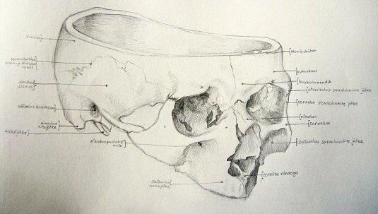 Kolju anatoomiliste nimetustega 2011, pliiats, 210 x 297 mm